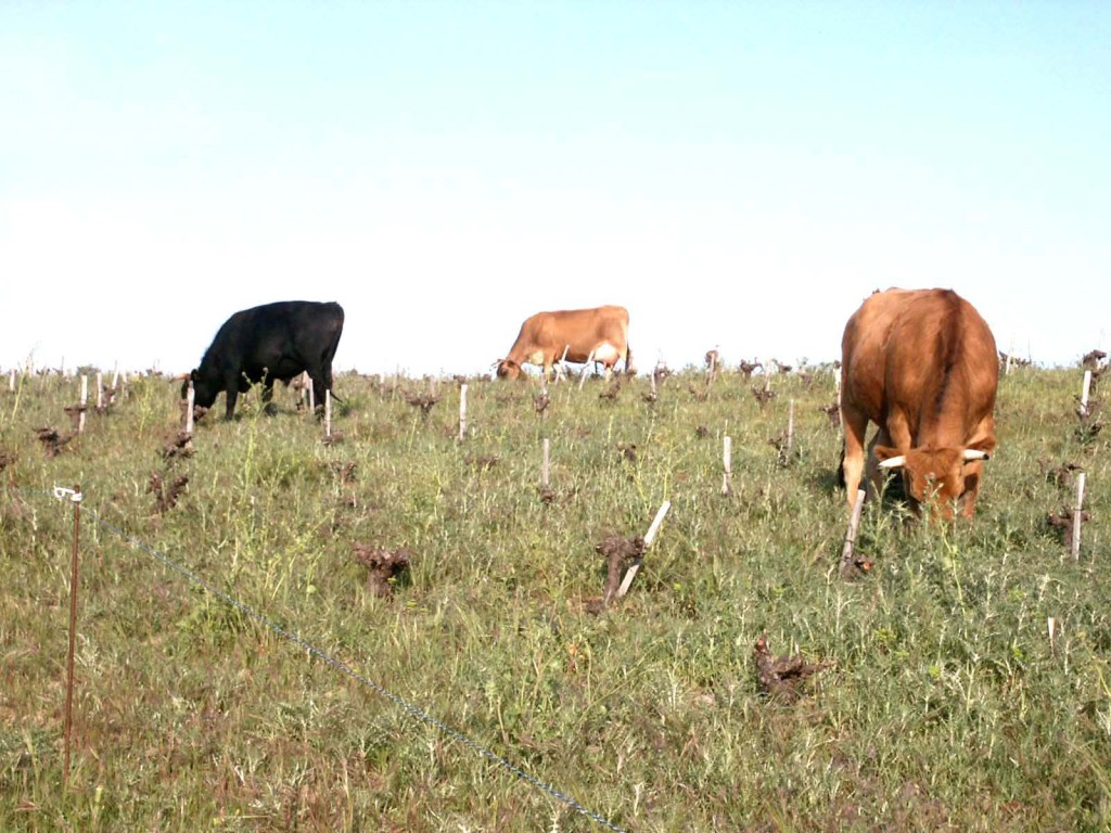An alternative to roundup; cows, cordoned off by electric wire, munching grasses and weeds. Photo courtesy Didier Barral website.
