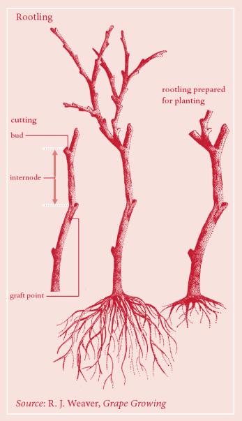 Rootstock.